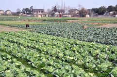 Pengzhou, China: Cabbages on Sichuan Farm Royalty Free Stock Photos