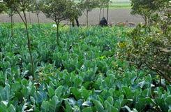 Pengzhou, China: Cauliflower Plants on Sichuan Farm Royalty Free Stock Photography