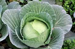 Pengzhou, China: Closeup of a Cabbage Head Stock Photos