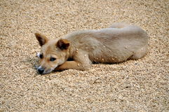 Pengzhou, China: Dog Lying on Drying Rice Stock Photo
