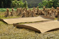 Pengzhou, China: Drying Rice Grains Stock Photos