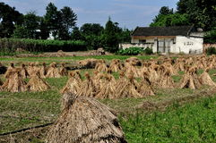 Pengzhou, China: Drying Rice Stalk Bundles Royalty Free Stock Images