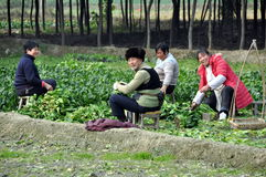 Pengzhou, China: Family Harvesting Bok Choy Royalty Free Stock Images