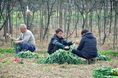 Pengzhou, China: Family Harvesting Green Onions Stock Image