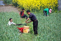 Pengzhou, China: Family Picking Garlic Royalty Free Stock Image
