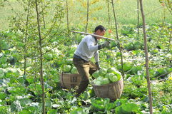Pengzhou, China: Farmer with Baskets of Cabbages Stock Images