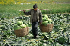 Pengzhou, China: Farmer Carrying Cabbages Royalty Free Stock Photo
