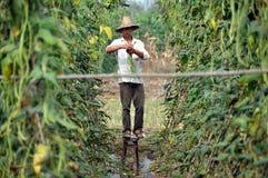 Pengzhou, China: Farmer Harvesting Beans Royalty Free Stock Photo