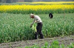 Pengzhou, China: Farmer Harvesting Garlic Royalty Free Stock Images