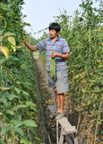 Pengzhou, China: Farmer Picking Green Beans Stock Photography