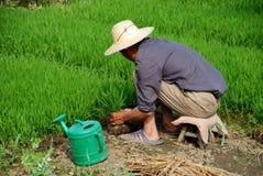 Pengzhou, China: Farmer Planting Rice Stock Photography