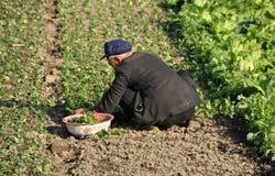 Pengzhou, China: Farmer Planting Spinach Stock Image