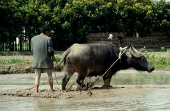 Pengzhou, China: Farmer Plowing with Water Buffalo Stock Photos