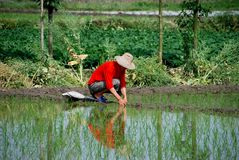 Pengzhou, China: Farmer in Rice Paddy. A farmer checks his newly planted rice seedlings in a flooded rice paddy on his small Sichuan province farm in Pengzhou Royalty Free Stock Image