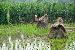 Pengzhou, China: Farmer Spraying Beans Royalty Free Stock Images