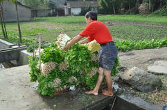 Pengzhou, China: Farmer Stacking Celery Stock Photos