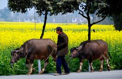 Pengzhou, China: Farmer Walking Water Buffalo Stock Images