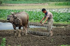 Pengzhou, China: Farmer and Water Buffalo Royalty Free Stock Images