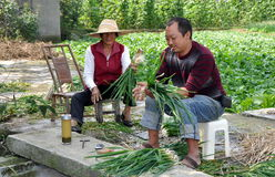 Pengzhou, China: Farmers Bundling Garlic Plants Royalty Free Stock Photography