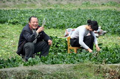 Pengzhou, China: Farmers Cutting Bok Choy Royalty Free Stock Photography
