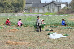 Pengzhou, China: Farmers in Garlic Field Stock Images