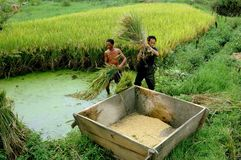 Pengzhou, China: Farmers Harvesting Rice Stock Photography