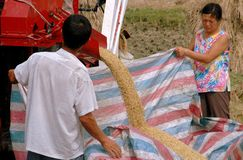 Pengzhou, China: Farmers Harvesting Rice Stock Image
