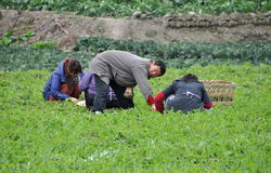 Pengzhou, China: Farmers Picking Pea Leaves Royalty Free Stock Photo