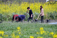 Pengzhou, China: Farmers Planting in Field Royalty Free Stock Photo