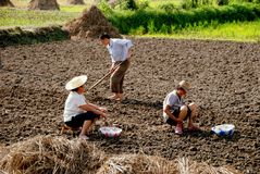 Pengzhou, China: Farmers Planting Garlic. Two women planting garlic seedlings while a man hoes neat rows in the earth as they work their small Sichuan province Royalty Free Stock Photos