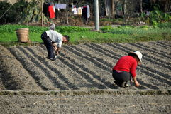 Pengzhou, China: Farmers Planting Garlic Stock Photos
