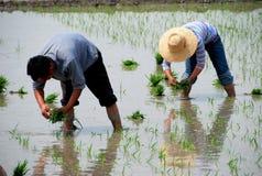 Pengzhou, China: Farmers Planting Rice Stock Photography