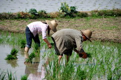 Pengzhou, China: Farmers Planting Rice Stock Photo