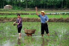 Pengzhou, China: Farmers Planting Rice Royalty Free Stock Photos