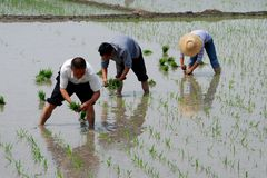 Pengzhou, China: Farmers Planting Rice Royalty Free Stock Photography