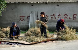 Pengzhou, China: Farmers Sorting Plants Royalty Free Stock Photo