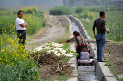 Pengzhou, China: Farmers Washing Produce. Women working in a man-made irrigation canal washing freshly harvested white Daikon radishes on a Sichuan province farm Stock Photos