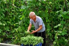 Pengzhou, China: Fazendeiro Picking Green Beans Fotografia de Stock