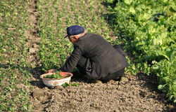 Pengzhou, China: Fazendeiro que planta o espinafre Imagem de Stock
