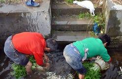 Pengzhou, China: Fazendeiros que lavam o aipo Foto de Stock Royalty Free