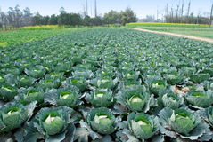 Pengzhou, China: Felder der Kohlpflanzen lizenzfreies stockbild