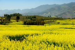 Pengzhou, China: Felder der Rapssamen-Blumen Lizenzfreies Stockfoto