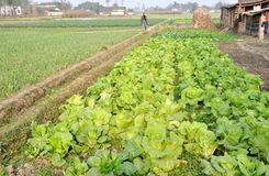 Pengzhou, China: Field of Lettuce and Garlic. A distant farmer walks along an earthern berm separating a field of garlic plants and another one filled with Stock Images