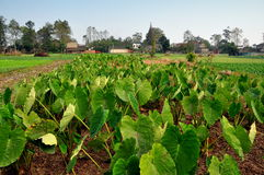 Pengzhou, China: Field of Taro Plants. Field of large-leaved Taro plants grown for their edible bulb roots on a Sichuan province farm in Pengzhou, China stock photo