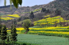 Pengzhou, China: Fields of Garlic and Rapeseed Stock Photo