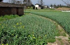 Pengzhou, China: Fields of Green Garlic Royalty Free Stock Photography
