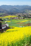 Pengzhou, China: Fields of Rapeseed Flowers. Fields of yellow rapeseed oil flowers cover the valley floor near the lofty Sichuan province mountains outside of Royalty Free Stock Photos