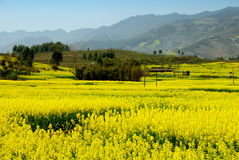 Pengzhou, China: Fields of Rapeseed Flowers Royalty Free Stock Photo