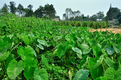 Pengzhou, China: Fields of Taro and Green Beans Stock Images