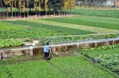 Pengzhou, China: Fields of Vegetables Stock Image